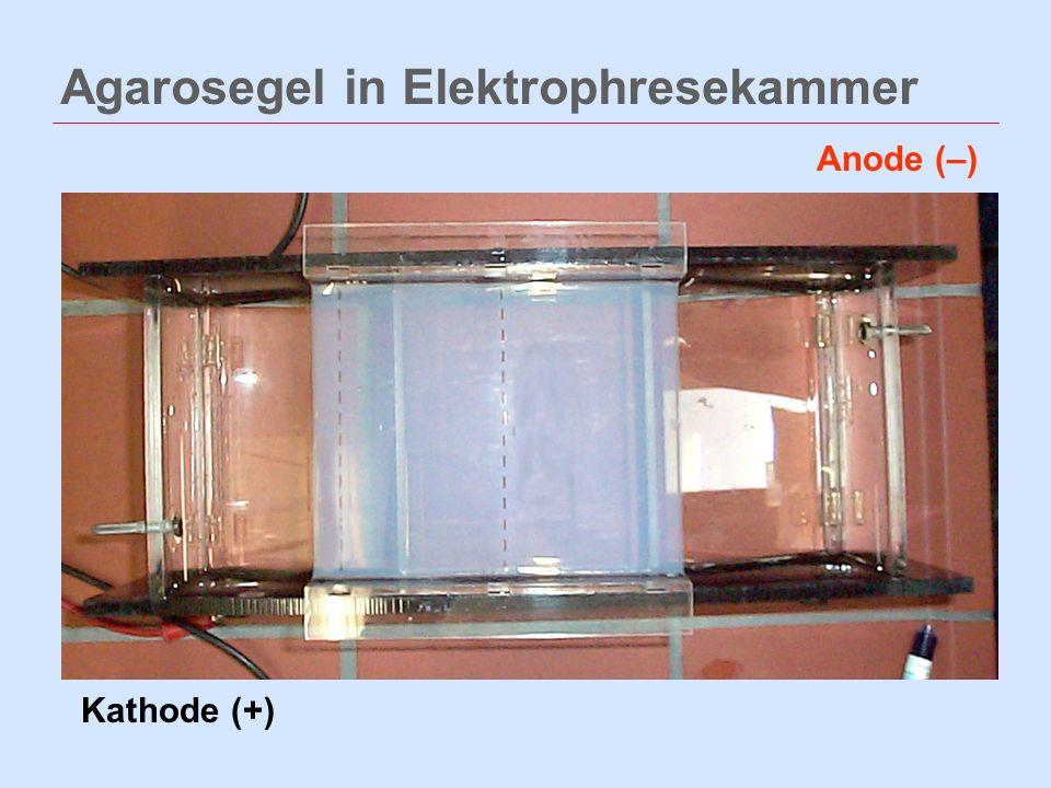 Agarosegel in Elektrophresekammer