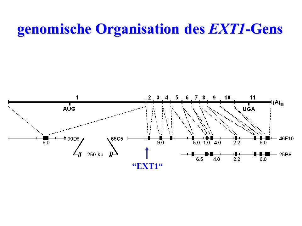 genomische Organisation des EXT1-Gens
