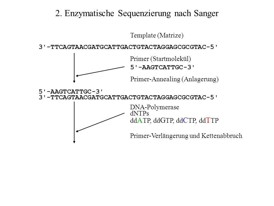 2. Enzymatische Sequenzierung nach Sanger