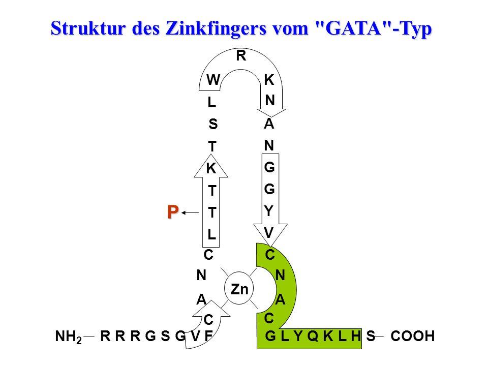 Struktur des Zinkfingers vom GATA -Typ