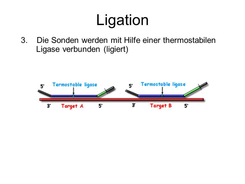 Ligation 3. Die Sonden werden mit Hilfe einer thermostabilen Ligase verbunden (ligiert)