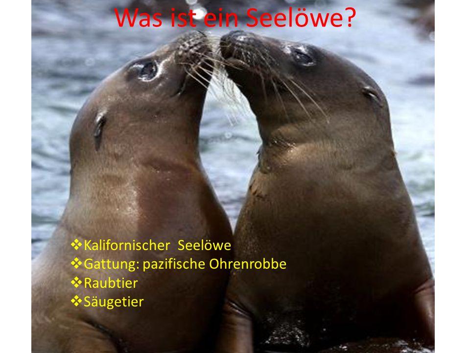 Was ist ein Seelöwe Kalifornischer Seelöwe