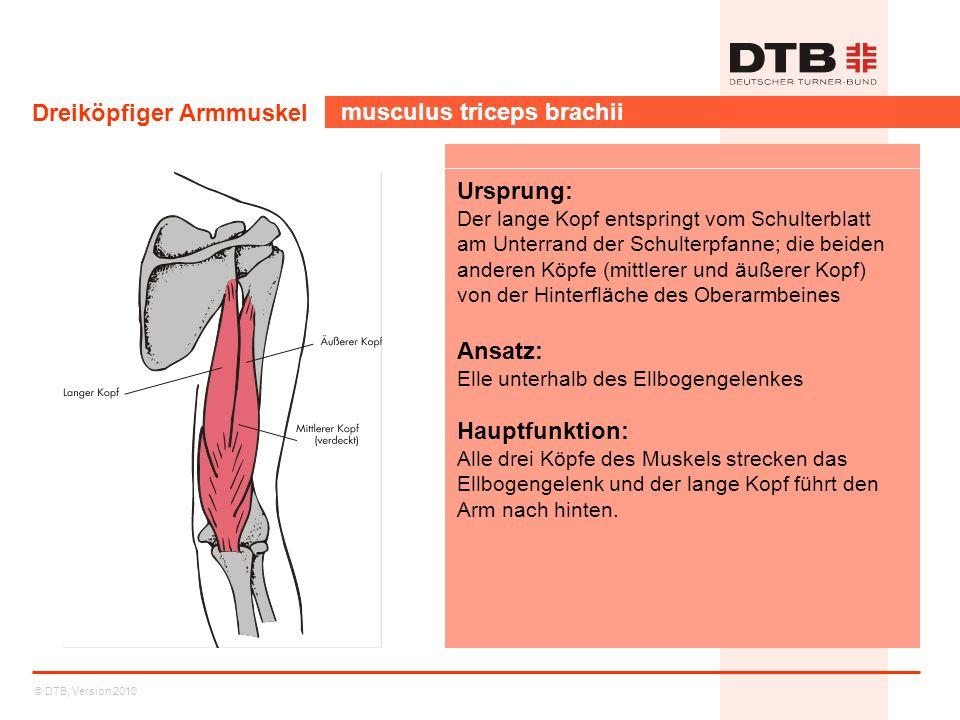 Dreiköpfiger Armmuskel musculus triceps brachii