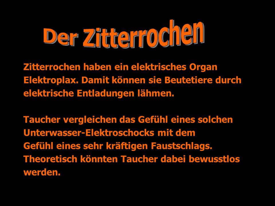 Der Zitterrochen Zitterrochen haben ein elektrisches Organ