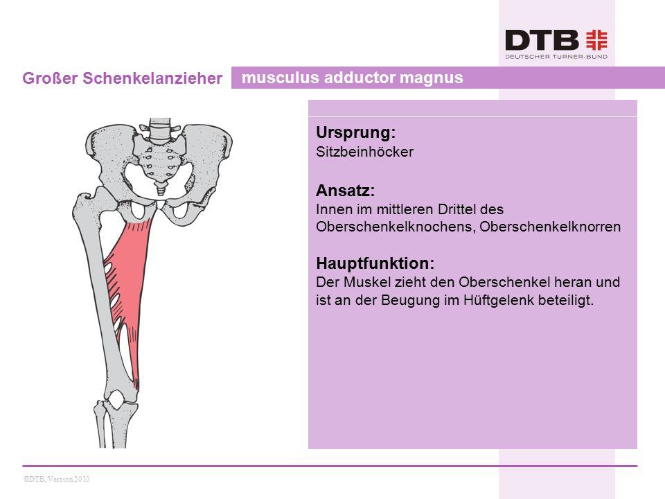 Großer Schenkelanzieher musculus adductor magnus