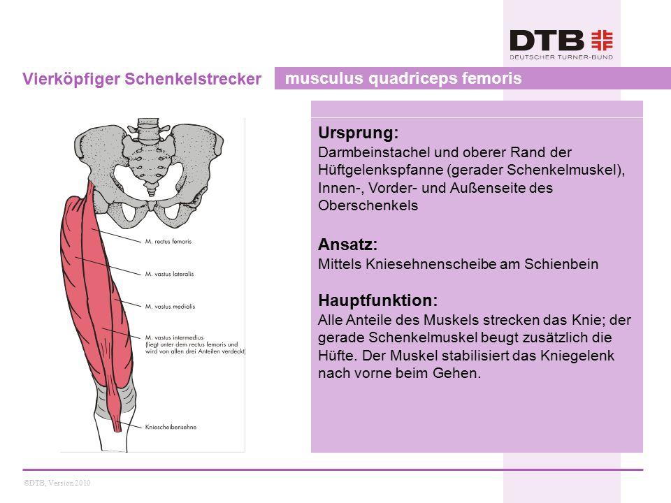 Vierköpfiger Schenkelstrecker musculus quadriceps femoris