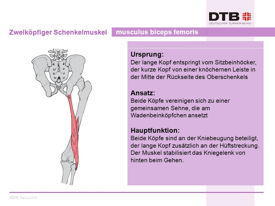Zweiköpfiger Schenkelmuskel musculus biceps femoris
