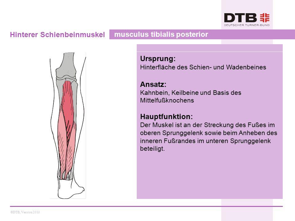 Hinterer Schienbeinmuskel musculus tibialis posterior