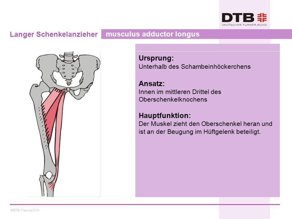 Langer Schenkelanzieher musculus adductor longus