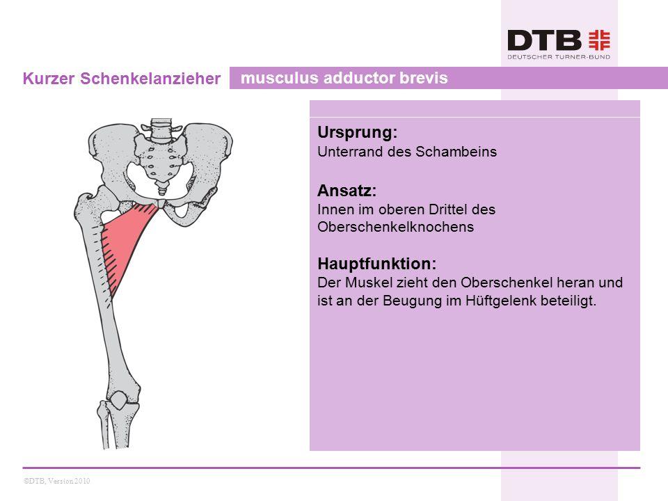 Kurzer Schenkelanzieher musculus adductor brevis