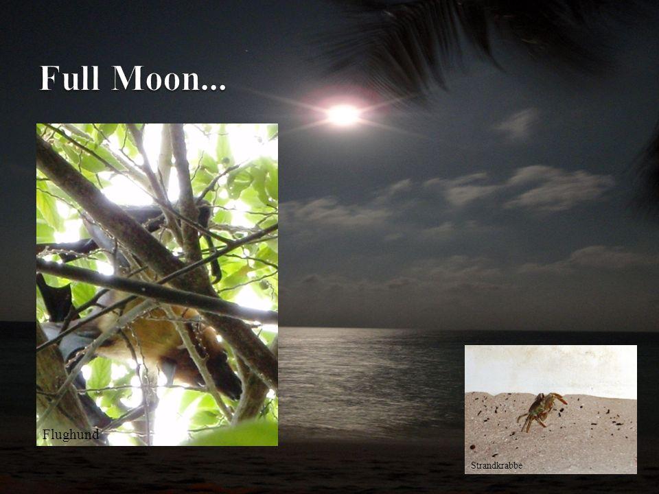 Full Moon... x Flughund Strandkrabbe