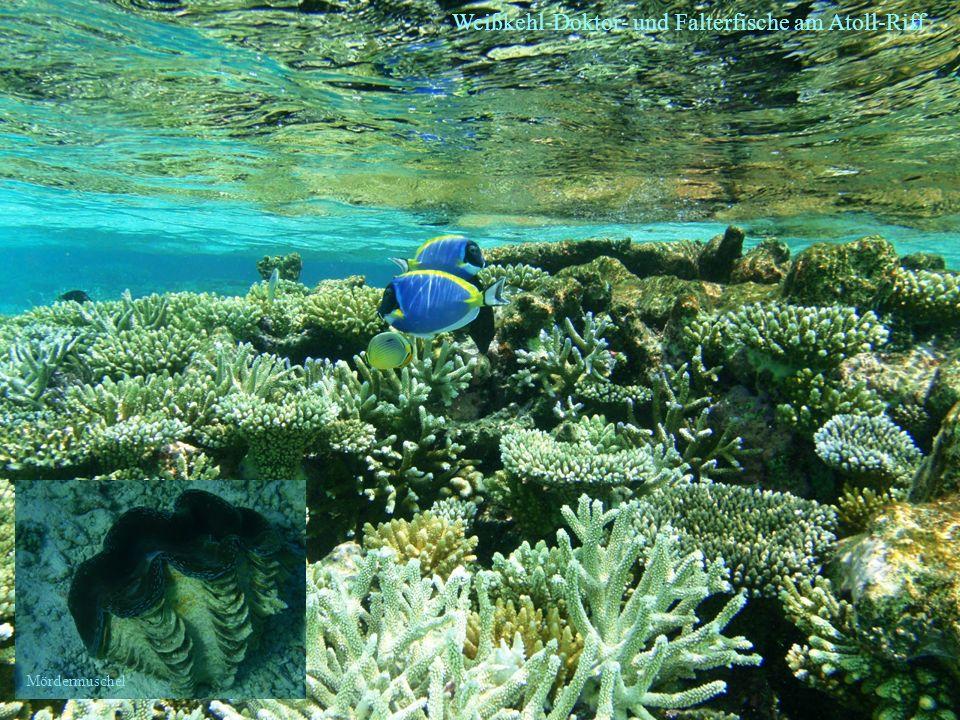 Weißkehl-Doktor- und Falterfische am Atoll-Riff