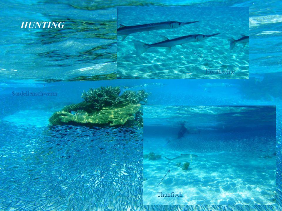 HUNTING Hornhechte Sardellenschwarm Thunfisch