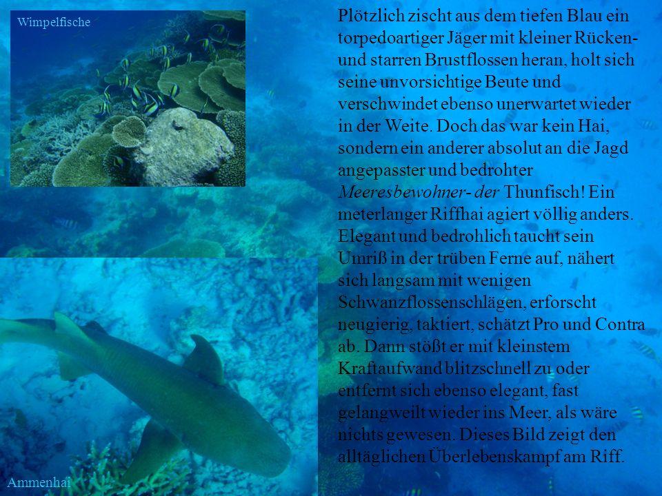 Plötzlich zischt aus dem tiefen Blau ein torpedoartiger Jäger mit kleiner Rücken- und starren Brustflossen heran, holt sich seine unvorsichtige Beute und verschwindet ebenso unerwartet wieder in der Weite. Doch das war kein Hai, sondern ein anderer absolut an die Jagd angepasster und bedrohter Meeresbewohner- der Thunfisch! Ein meterlanger Riffhai agiert völlig anders. Elegant und bedrohlich taucht sein Umriß in der trüben Ferne auf, nähert sich langsam mit wenigen Schwanzflossenschlägen, erforscht neugierig, taktiert, schätzt Pro und Contra ab. Dann stößt er mit kleinstem Kraftaufwand blitzschnell zu oder entfernt sich ebenso elegant, fast gelangweilt wieder ins Meer, als wäre nichts gewesen. Dieses Bild zeigt den alltäglichen Überlebenskampf am Riff.