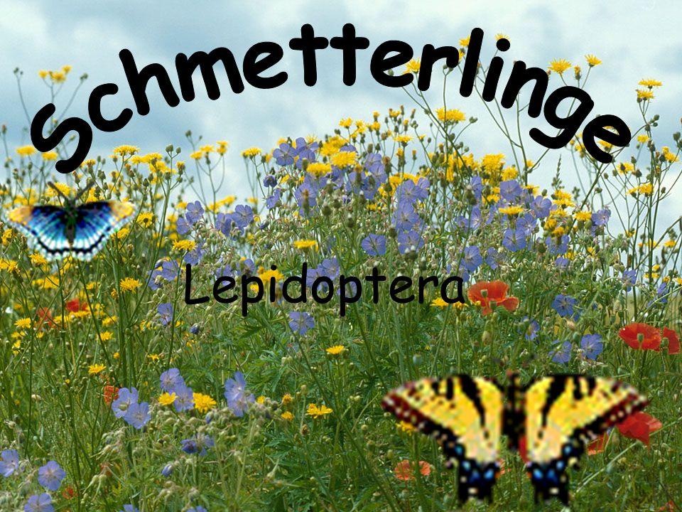 Schmetterlinge Lepidoptera