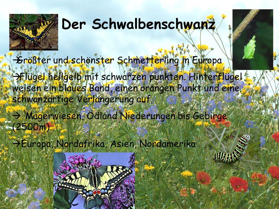 Der Schwalbenschwanz Größter und schönster Schmetterling in Europa