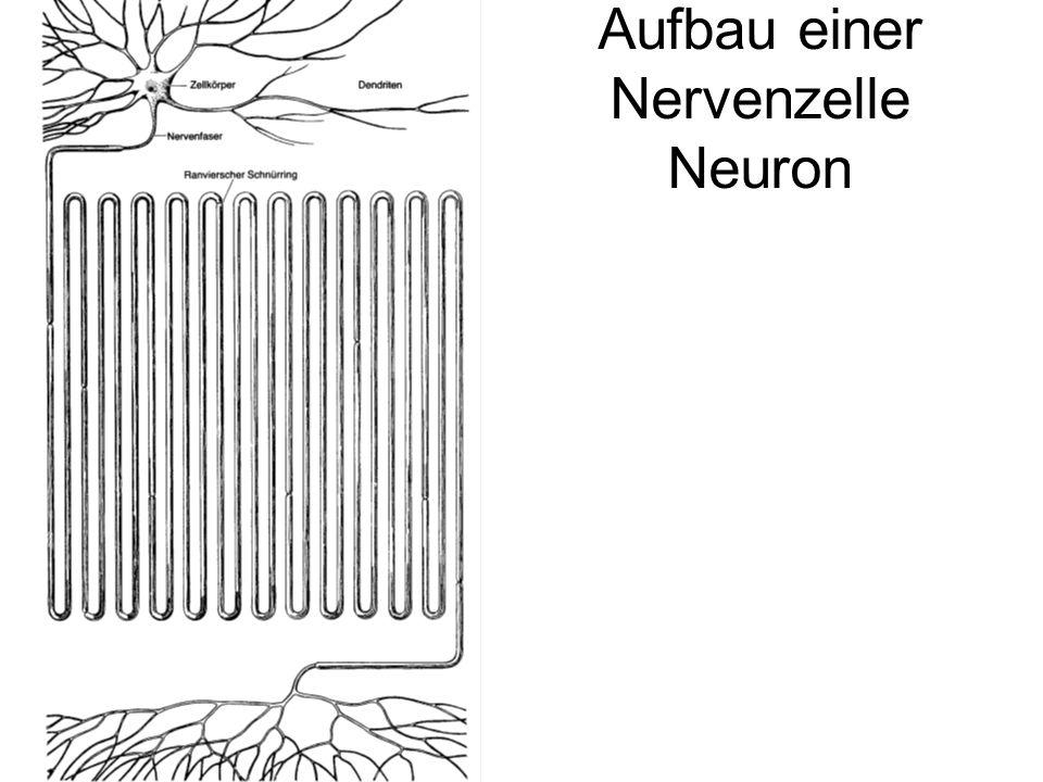 Aufbau einer Nervenzelle Neuron