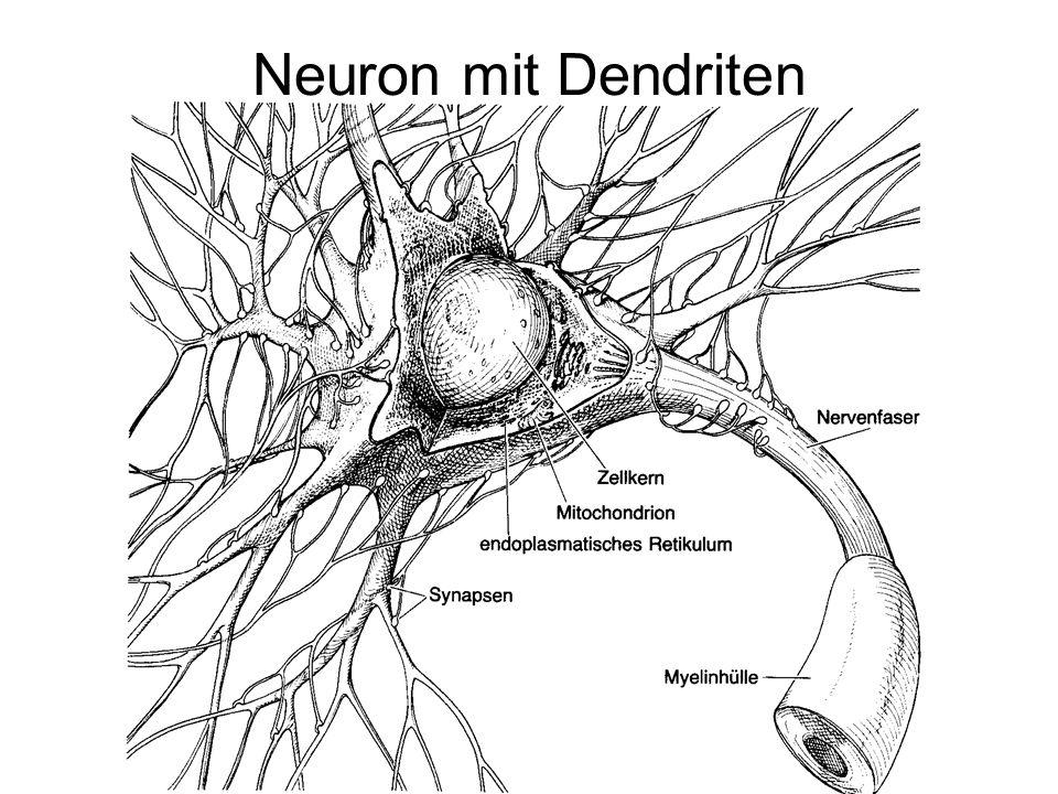 Neuron mit Dendriten