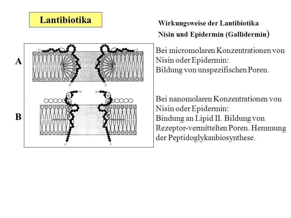Lantibiotika Wirkungsweise der Lantibiotika Nisin und Epidermin (Gallidermin) Bei micromolaren Konzentrationen von Nisin oder Epidermin: