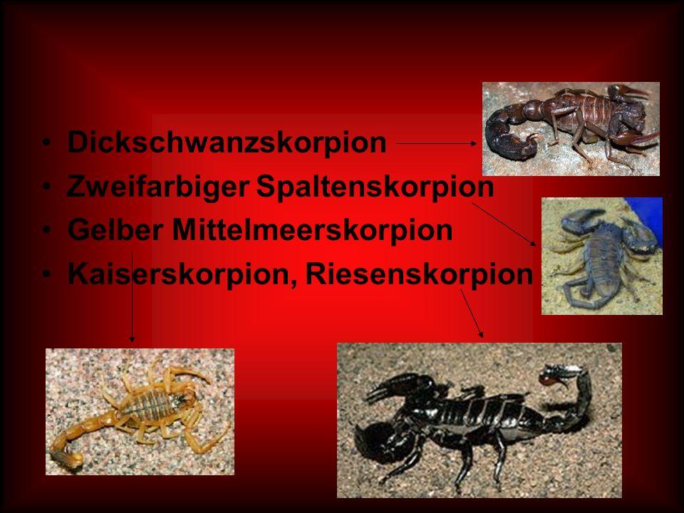 Dickschwanzskorpion Zweifarbiger Spaltenskorpion. Gelber Mittelmeerskorpion.