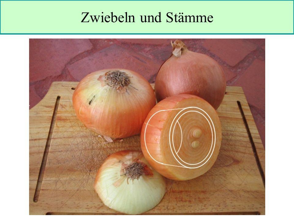 Zwiebeln und Stämme