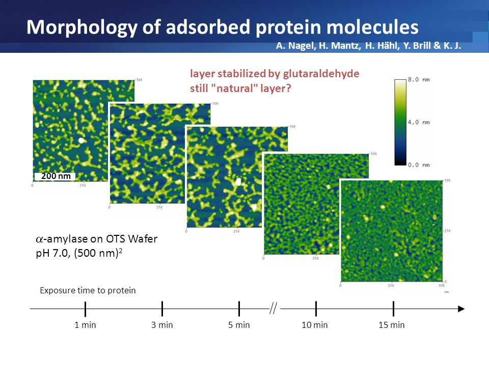 Morphology of adsorbed protein molecules