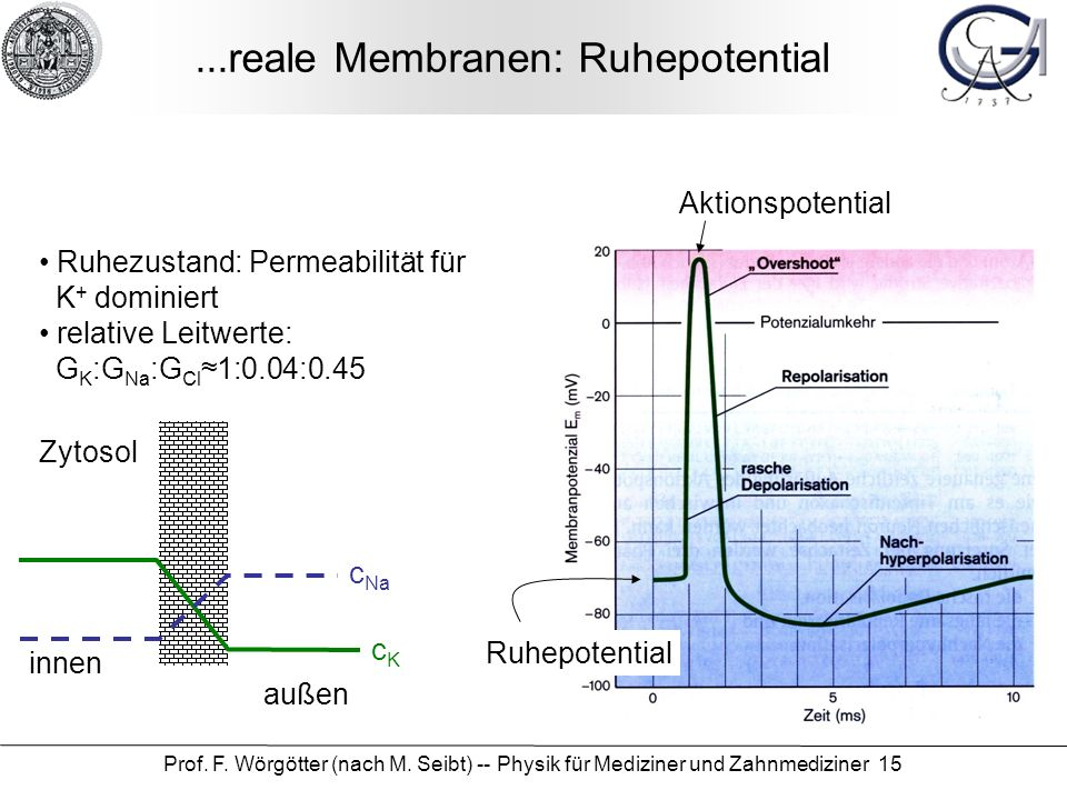 ...reale Membranen: Ruhepotential