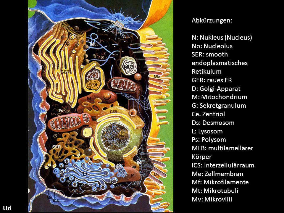 Abkürzungen: N: Nukleus (Nucleus) No: Nucleolus. SER: smooth endoplasmatisches Retikulum. GER: raues ER.