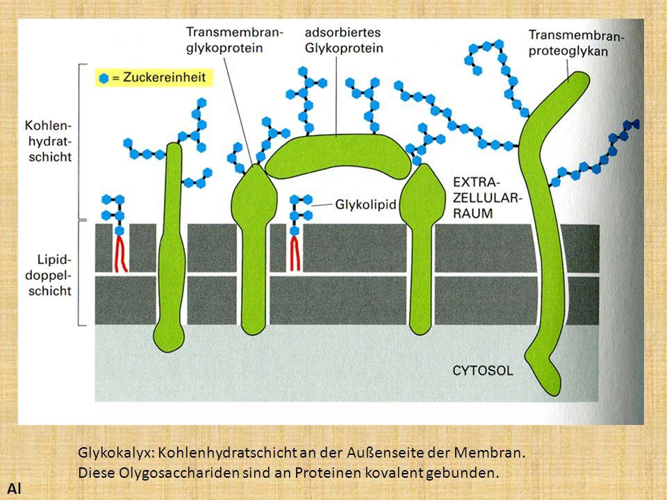 Glykokalyx: Kohlenhydratschicht an der Außenseite der Membran.