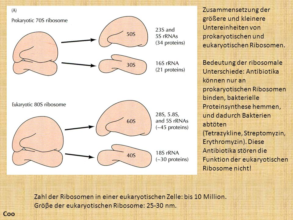 Zusammensetzung der größere und kleinere Untereinheiten von prokaryotischen und eukaryotischen Ribosomen.