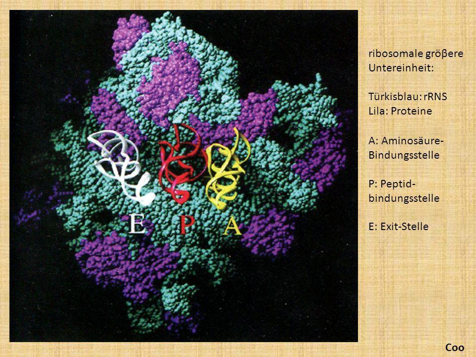 ribosomale gröβere Untereinheit:
