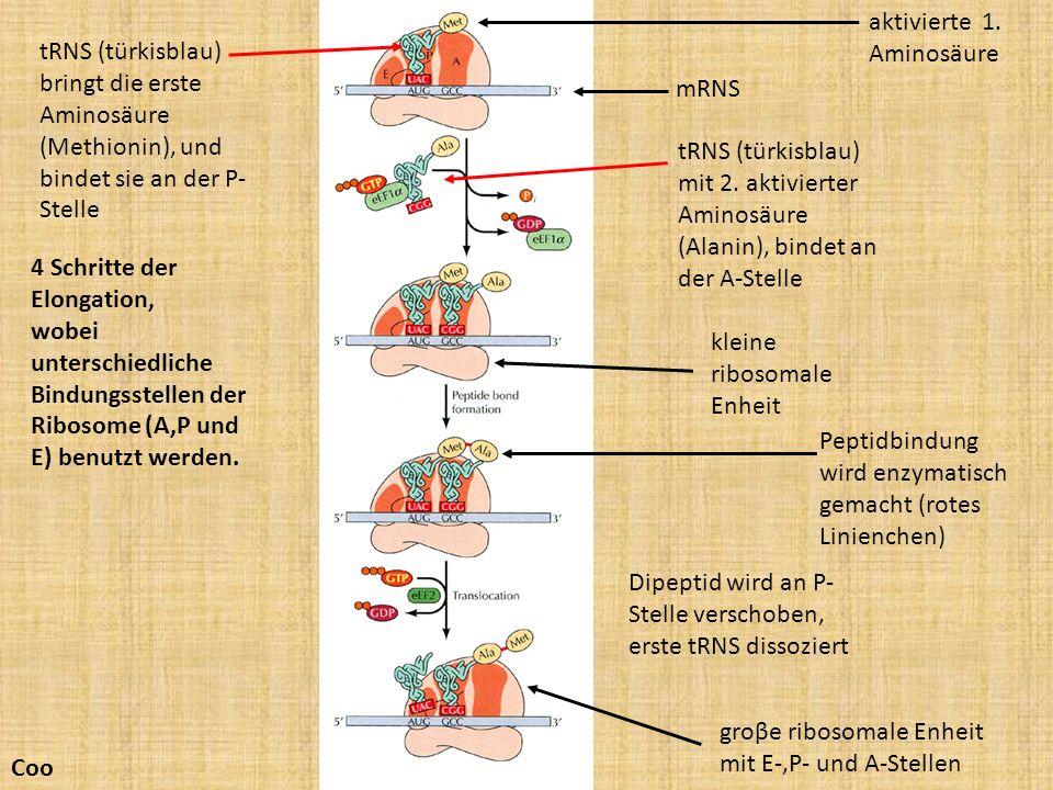 aktivierte 1. Aminosäure