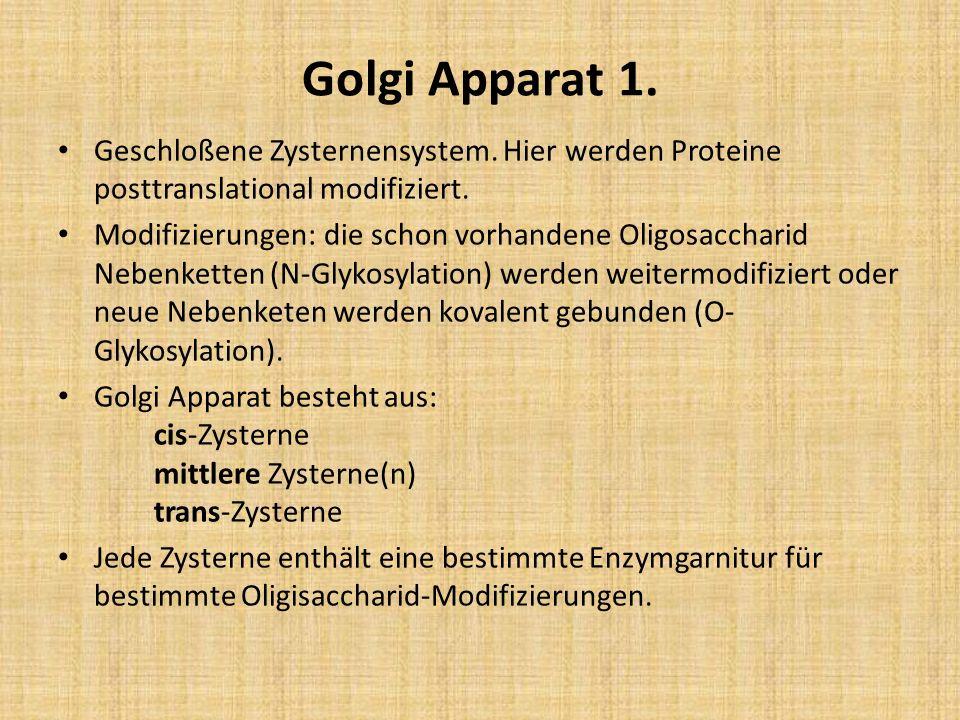 Golgi Apparat 1. Geschloßene Zysternensystem. Hier werden Proteine posttranslational modifiziert.