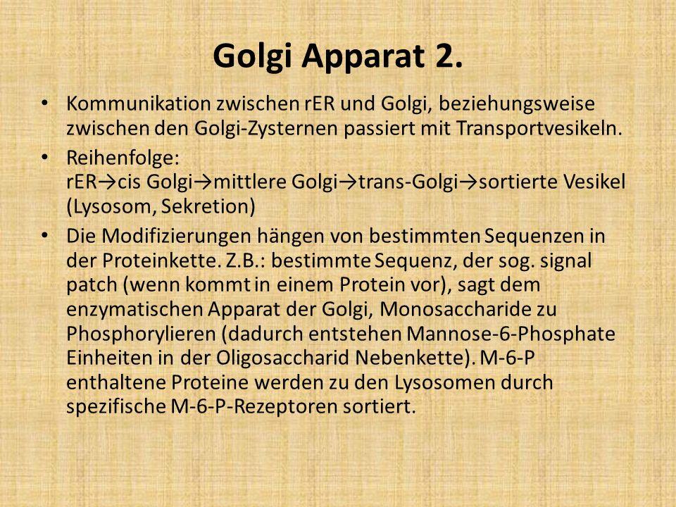 Golgi Apparat 2. Kommunikation zwischen rER und Golgi, beziehungsweise zwischen den Golgi-Zysternen passiert mit Transportvesikeln.