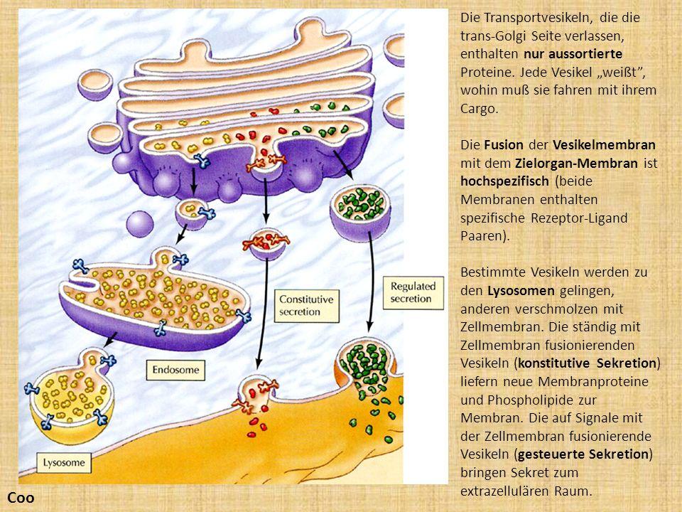 """Die Transportvesikeln, die die trans-Golgi Seite verlassen, enthalten nur aussortierte Proteine. Jede Vesikel """"weißt , wohin muß sie fahren mit ihrem Cargo."""