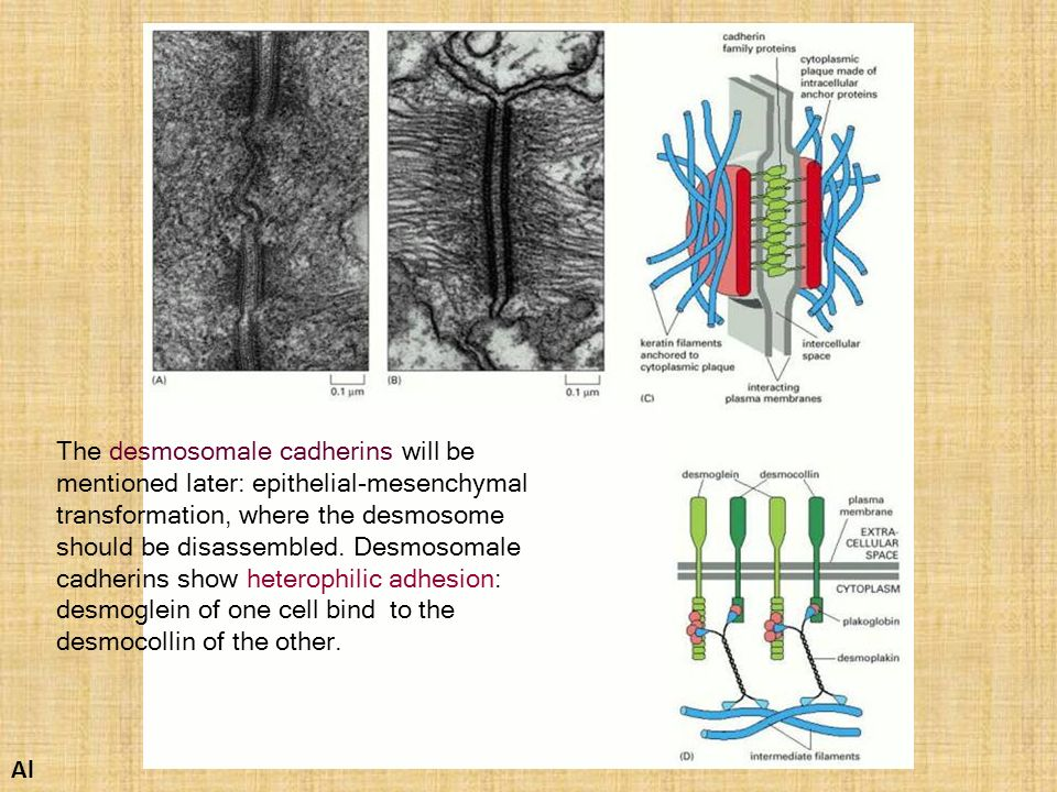 The desmosomale cadherins will be mentioned later: epithelial-mesenchymal transformation, where the desmosome should be disassembled. Desmosomale cadherins show heterophilic adhesion: desmoglein of one cell bind to the desmocollin of the other.