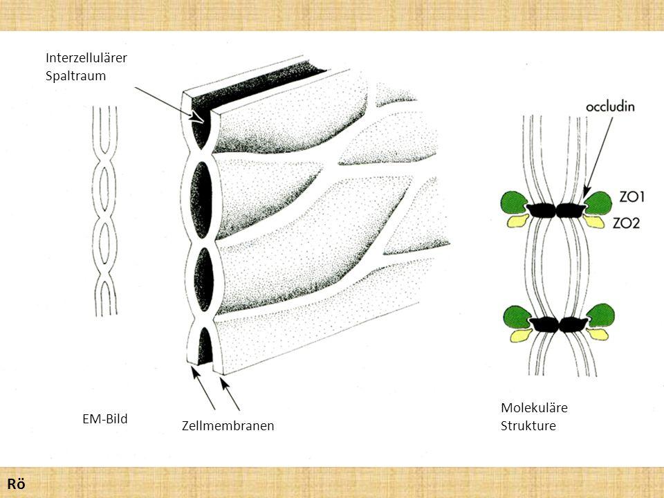 Rö Interzellulärer Spaltraum Molekuläre Strukture EM-Bild