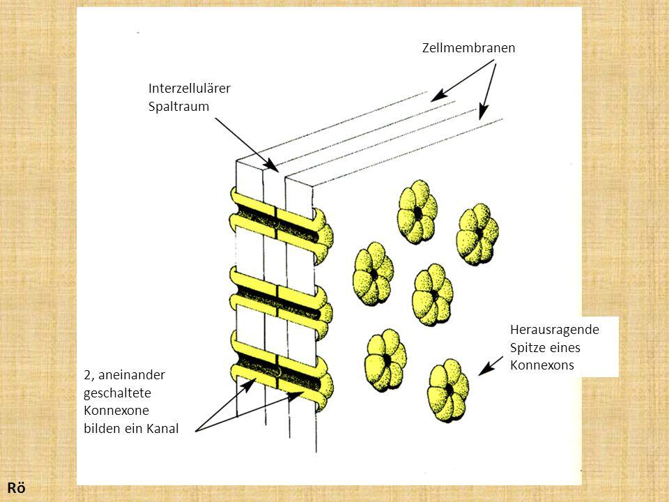 Rö Zellmembranen Interzellulärer Spaltraum