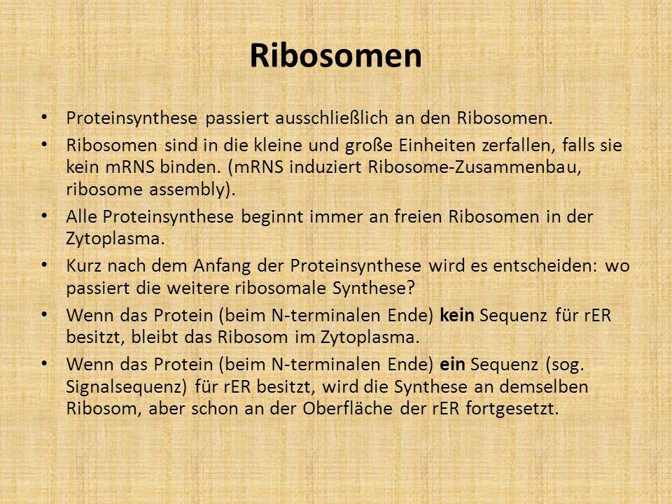 Ribosomen Proteinsynthese passiert ausschließlich an den Ribosomen.