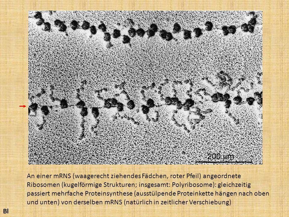 An einer mRNS (waagerecht ziehendes Fädchen, roter Pfeil) angeordnete Ribosomen (kugelförmige Strukturen; insgesamt: Polyribosome): gleichzeitig passiert mehrfache Proteinsynthese (ausstülpende Proteinkette hängen nach oben und unten) von derselben mRNS (natürlich in zeitlicher Verschiebung)