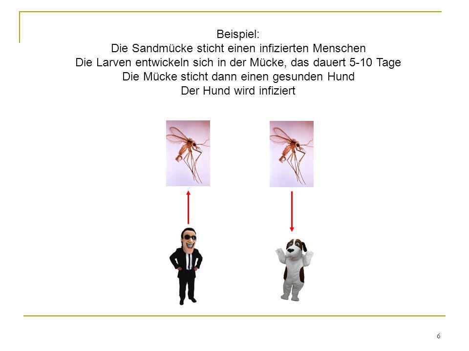 Beispiel: Die Sandmücke sticht einen infizierten Menschen Die Larven entwickeln sich in der Mücke, das dauert 5-10 Tage Die Mücke sticht dann einen gesunden Hund Der Hund wird infiziert