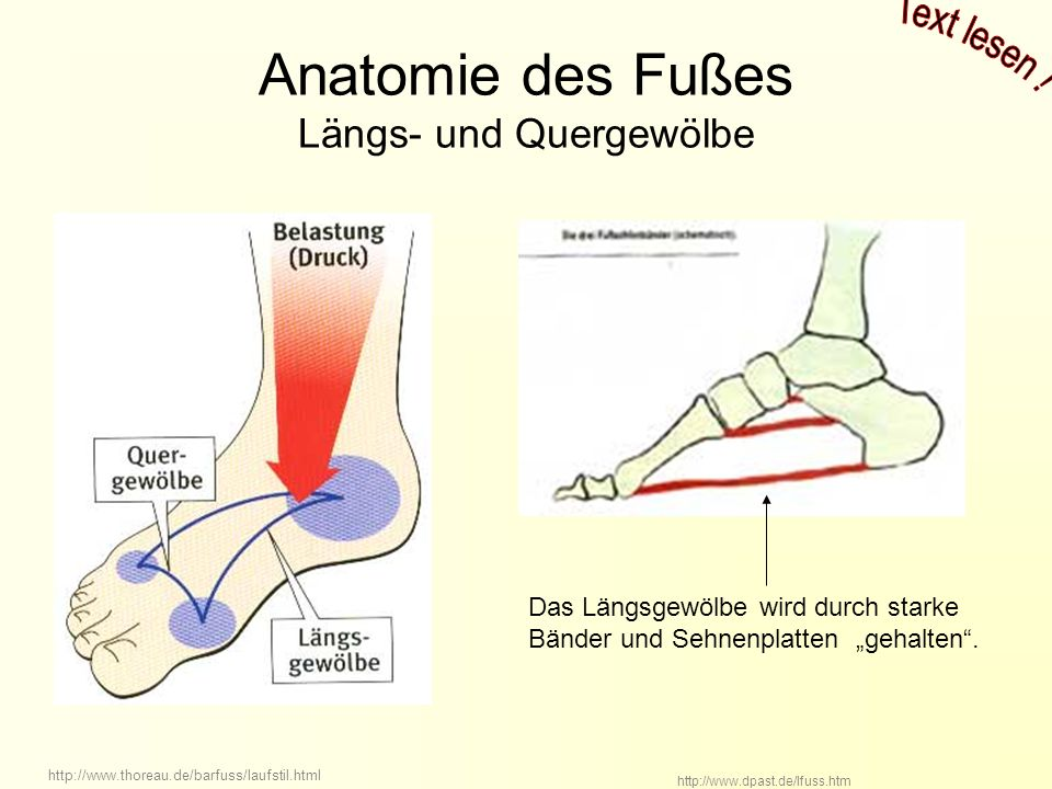 Anatomie des Fußes Längs- und Quergewölbe