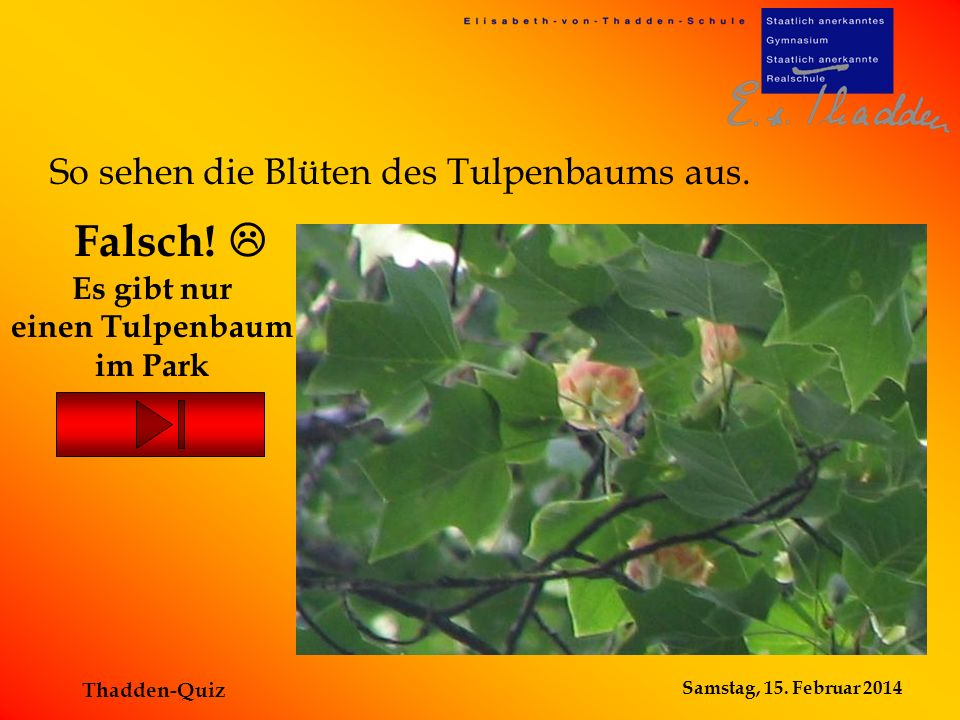 Es gibt nur einen Tulpenbaum im Park