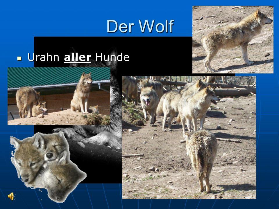 Der Wolf Urahn aller Hunde