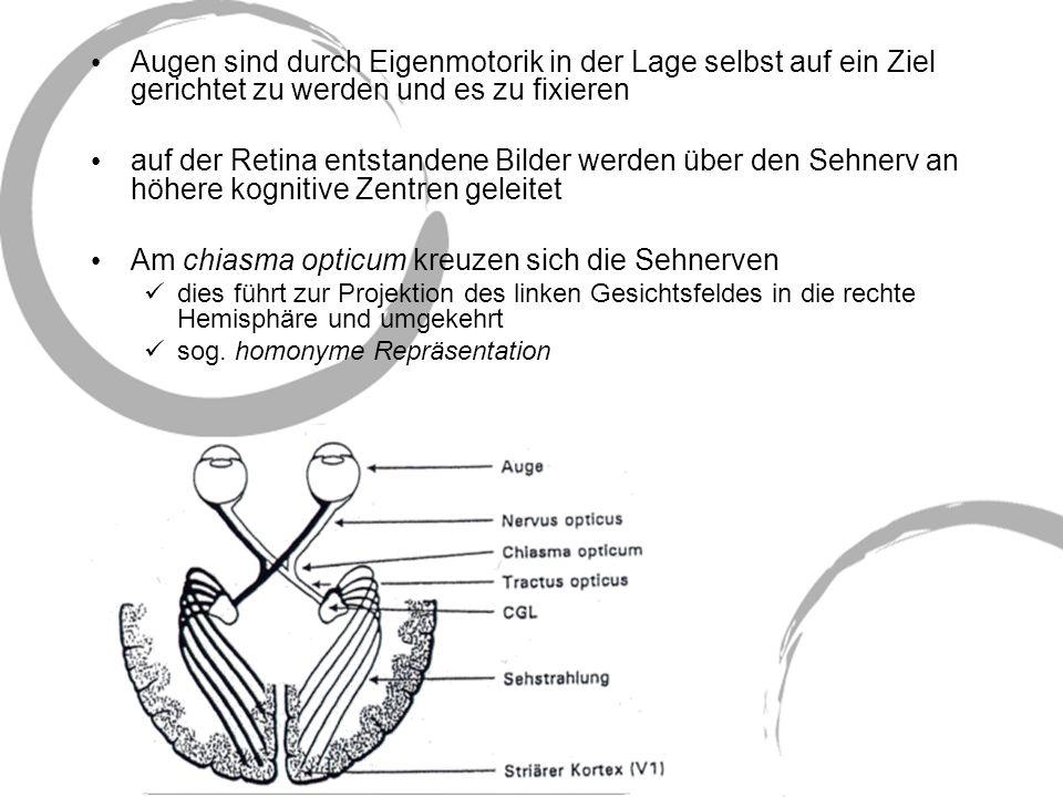 Am chiasma opticum kreuzen sich die Sehnerven