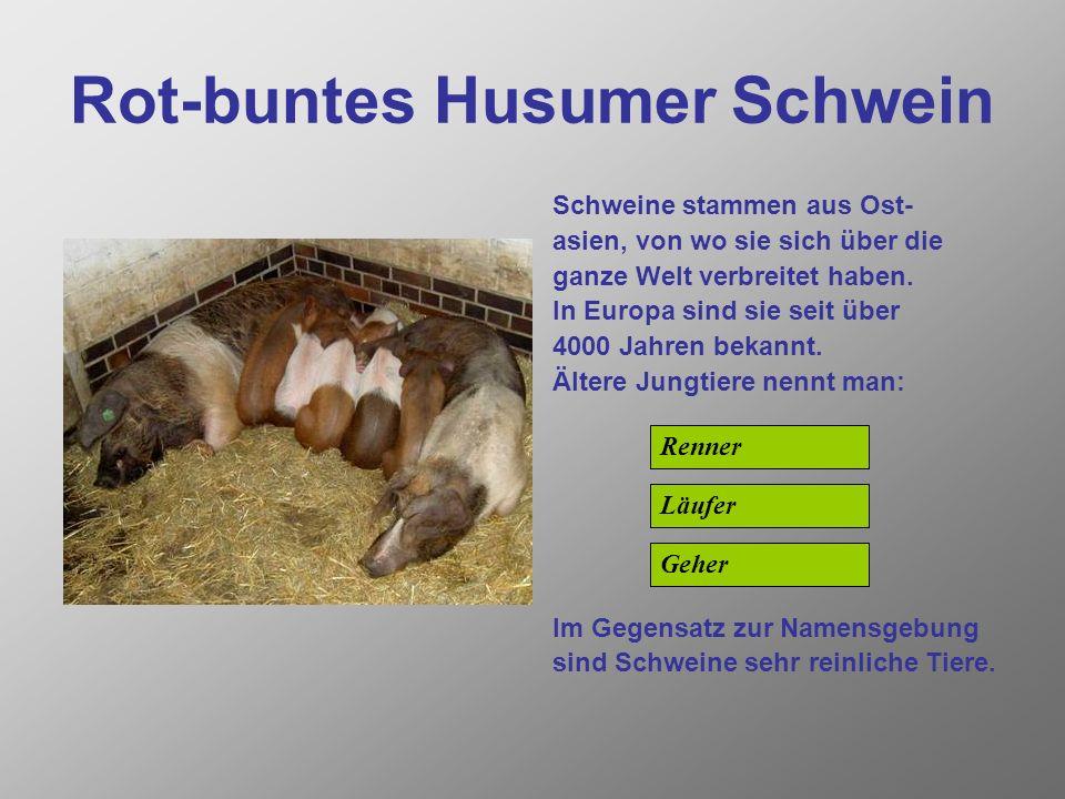 Rot-buntes Husumer Schwein
