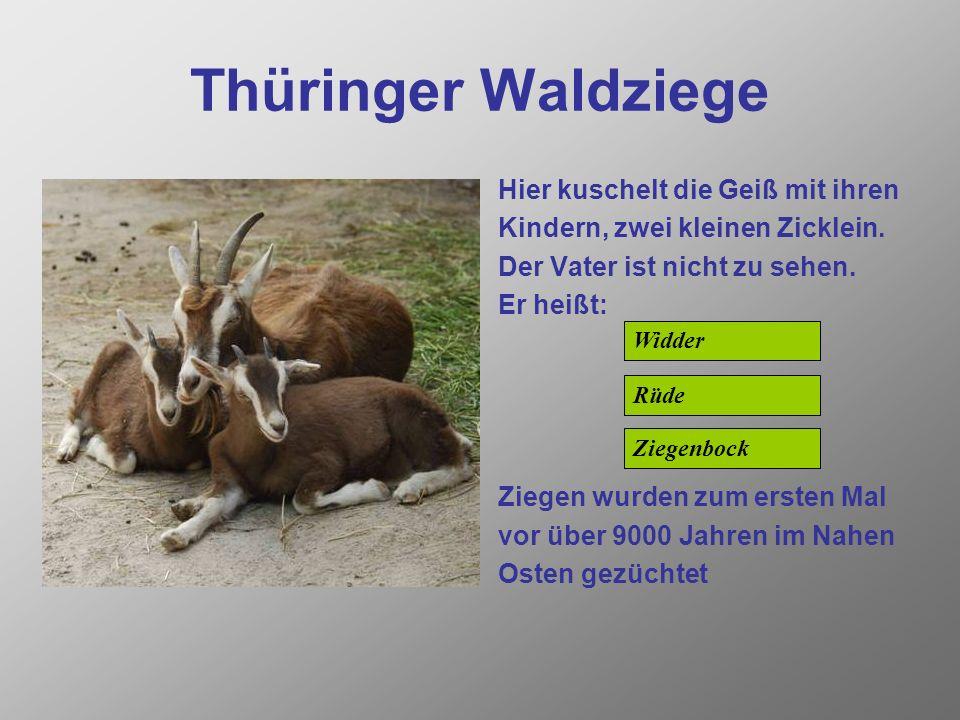 Thüringer Waldziege Hier kuschelt die Geiß mit ihren