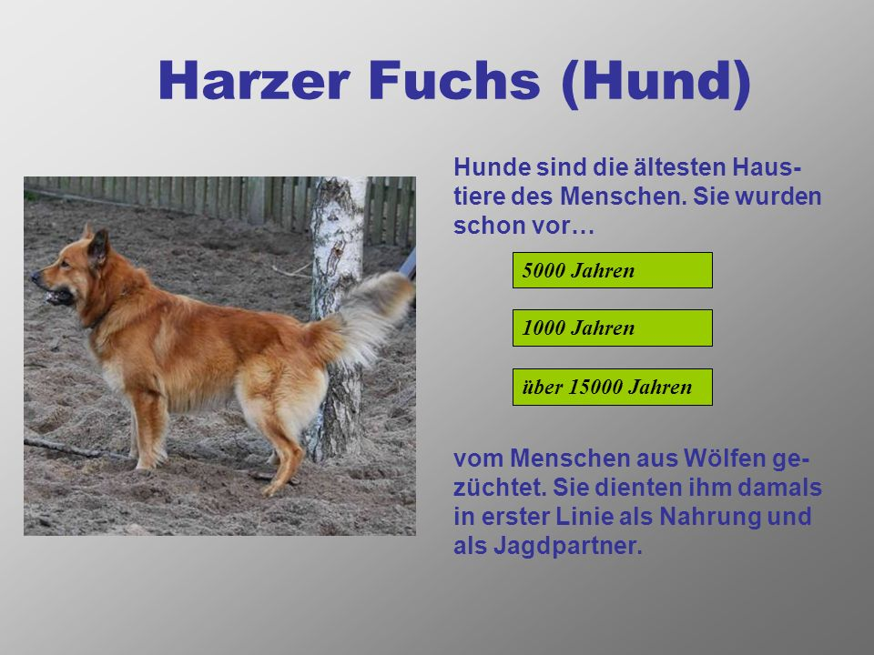 Harzer Fuchs (Hund) Hunde sind die ältesten Haus-