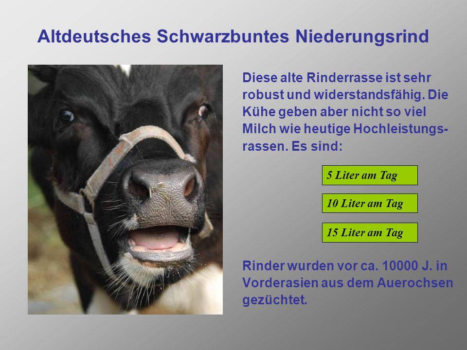 Altdeutsches Schwarzbuntes Niederungsrind