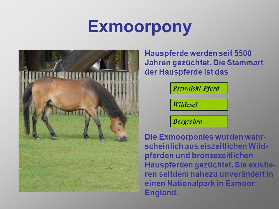Exmoorpony Hauspferde werden seit 5500 Jahren gezüchtet. Die Stammart